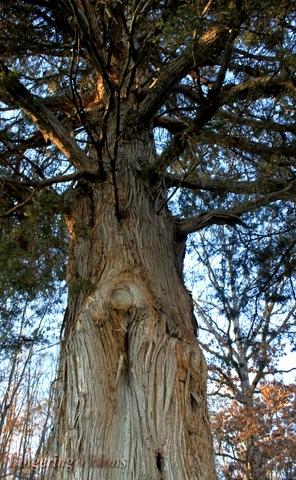 Huge Cedar Tree