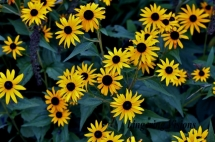yellowflowers(w)# (9)