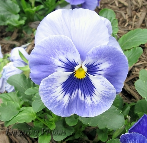 purple pansy(w)