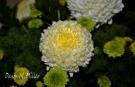 Yellow Carnation (w)