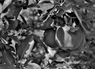 Apples(e)