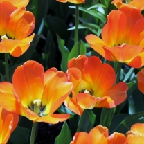 Tulips at Longwood Gardens in PA