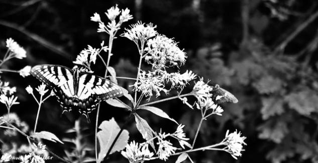 Milkweed in BnW# (4)